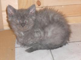 Foto 4 Selkirk Rex Junge in blau 11 Wochen alt