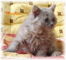 Foto 2 Selkirk Rex-Kätzchen