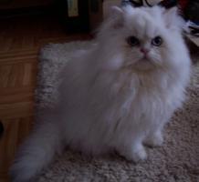 Selkirk Rex langhaar Kitten point blue