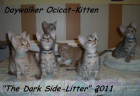 Seltene Ocicat-Kitten m.Pap. !!!