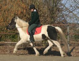 Seltenes Pottok Pony, Rappscheckstute mit blauem Auge, Stm. 140 cm, 5jährig