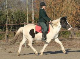 Foto 2 Seltenes Pottok Pony, Rappscheckstute mit blauem Auge, Stm. 140 cm, 5jährig