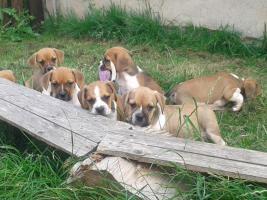 Sensationelle Bull-Beagle auchen neues Zuhause