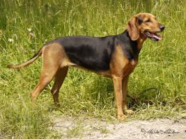 Serbischer Laufhund Welpen abzugeben