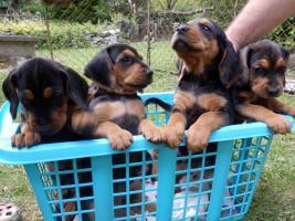 Foto 2 Serbischer Laufhund Welpen abzugeben
