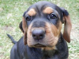 Foto 3 Serbischer Laufhund Welpen abzugeben