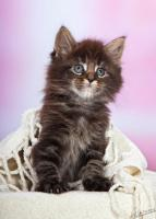 Foto 7 Shaggy Bear's Maine Coon Babys
