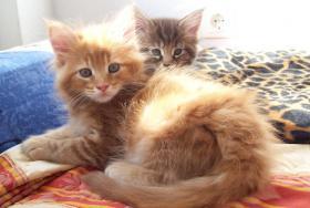 Shaggy Bears Maine Coon Babys suchen ein neues zu Hause!!