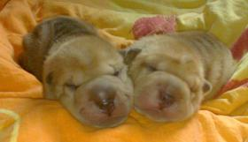 Foto 2 Shar Pei ''From Red Sunset'' hat Welpen !