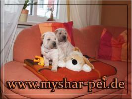 Shar Pei Welpen suchen ein liebevolles Zuhause