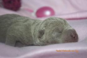 Shar Pei welpen geboren am 22.02.2012 abzugeben mit Papieren