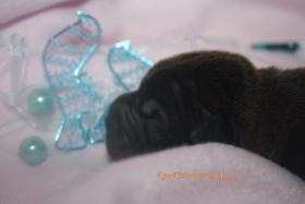 Foto 2 Shar Pei welpen geboren am 22.02.2012 abzugeben mit Papieren