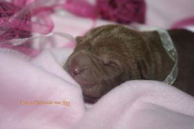 Foto 3 Shar Pei welpen geboren am 22.02.2012 abzugeben mit Papieren