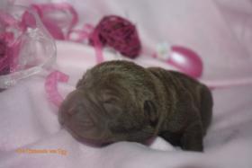 Foto 4 Shar Pei welpen geboren am 22.02.2012 abzugeben mit Papieren
