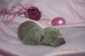 Foto 5 Shar Pei welpen geboren am 22.02.2012 abzugeben mit Papieren