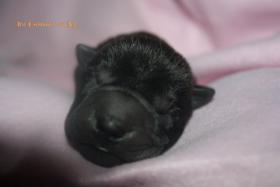 Foto 6 Shar Pei welpen geboren am 22.02.2012 abzugeben mit Papieren