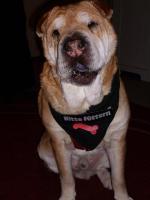 Foto 2 Shar Pei ( chinesischer Faltenhund ) sucht neuen Wirkungskreis