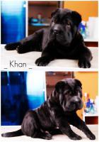 Shar pei Welpe -Khan- von höchster Qualität zu verkaufen