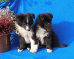 Sheltie (Shetland Sheepdog) Welpen mit Stammbaum