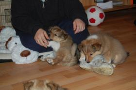 Foto 3 Shetland Sheepdog, Sheltie Welpen mit Papiere FCI