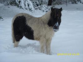 Foto 3 Shetlandpony