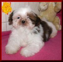 Foto 3 Shih Tzu Babys