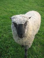 Shropshire Schafbock ohne Papiere günstig zuverkaufen.