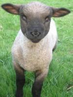 Foto 2 Shropshire Schafbock ohne Papiere günstig zuverkaufen.