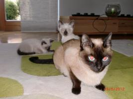 Siam Baby Katzen