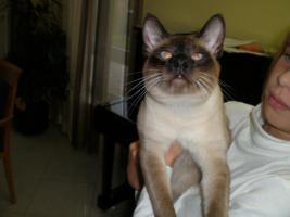 Foto 3 Siam-Deckkater!!!!!!