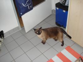 Foto 2 Siam Katzenpärchen