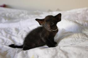 Foto 3 Siam und OKH Kätzchen suchen ein Zuhause!
