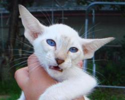 Siam und Oriental Katzen Babies