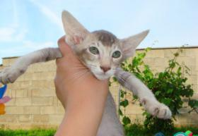 Foto 2 Siam und Oriental Katzen Babies