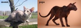 Foto 5 Siam und Oriental Katzen Babies