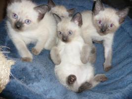 Foto 4 Siam Tay Babys