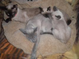 Siam-Thai Kätzchen