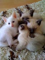 Foto 2 Siam/Thai-Katzen-Babies