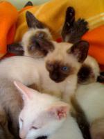 Foto 5 Siam/Thai-Katzen-Babies