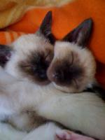 Foto 6 Siam/Thai-Katzen-Babies