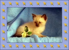 Siam-Thai Kitten
