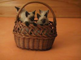 Foto 2 Siam-Thai Kitten