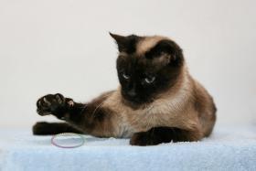 Foto 4 Siam-Thai Kitten