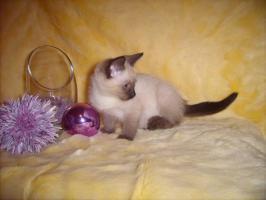 Foto 3 Siam-Thai Kitten