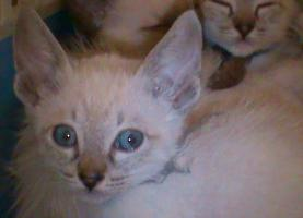 Foto 2 Siam katerchen aus siegen sucht noch liebes zuhause