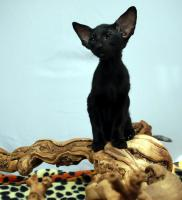 Siamesen / Seychellois und Orientalisch Kurzhaar Kitten
