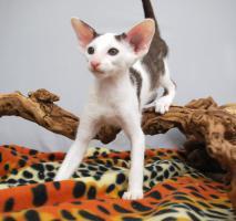 Foto 2 Siamesen / Seychellois und Orientalisch Kurzhaar Kitten