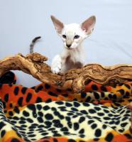 Foto 3 Siamesen / Seychellois und Orientalisch Kurzhaar Kitten
