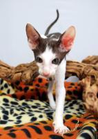Foto 4 Siamesen / Seychellois und Orientalisch Kurzhaar Kitten