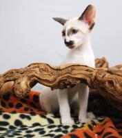Foto 5 Siamesen / Seychellois und Orientalisch Kurzhaar Kitten